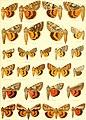 Die Gross-Schmetterlinge der Erde - eine systematische Bearbeitung der bis jetzt bekannten Gross-Schmetterlinge (1900) (20304678024).jpg