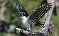 Diederik cuckoo, Chrysococcyx caprius, at Mapungubwe National Park, Limpopo, South Africa - male (29422300413).jpg