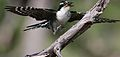 Diederik cuckoo, Chrysococcyx caprius, at Mapungubwe National Park, Limpopo, South Africa - male (29422330603).jpg