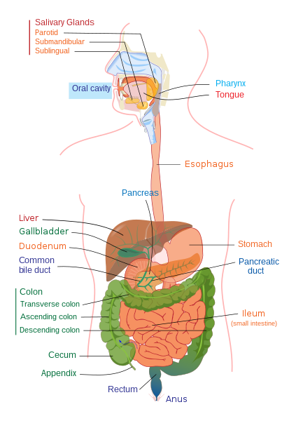 File:Digestive system diagram edit.svg