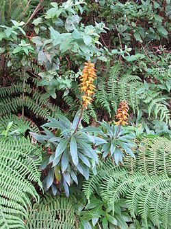 Digitalis (Isoplexis) canariensis by Scott Zona - 001.jpg