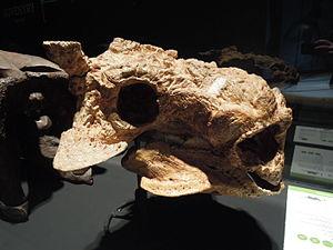 Saichania - Skull PIN 3142/250, which has been referred to both Saichania and Tarchia