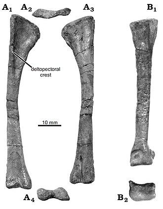 Diodorus scytobrachion - Limb elements