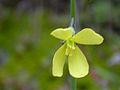 Diplotaxis tenuifolia EnfoqueFlor 2010-3-21 SierraMadrona.jpg