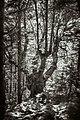 Dirfis woods 2.jpg