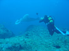 Diver and Manta on Xstacy reef dsc04438.jpg