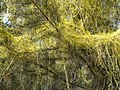 Dodder and Casuarina (2222517305).jpg