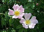 Dog Rose - geograph.org.uk - 452045.jpg