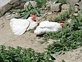 Domestic hens.jpg