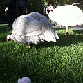 Domesticated guineafowl in Tivoli Gardens 2.jpg