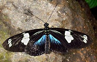 Laparus doris - Blue specimen, Quito, Ecuador