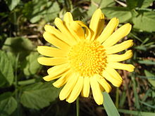 Doronicum pardalianches R0021723.JPG