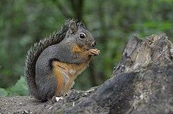 Un écureuil de Douglas, en Colombie Britannique