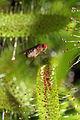 Drosophila melanogaster ♀ Melgen, 1830, Drosera capensis Linnaeus, 1753 1100.1.2164.jpg