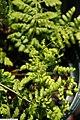 Dryopteris marginalis 6zz.jpg