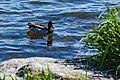 Duck (42348698281).jpg