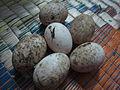 Duck - താറാവ് 01.JPG