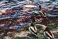 Ducks (34890208256).jpg