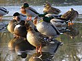 Ducks on ice, Cemetery Lake, Southampton Common - geograph.org.uk - 637334.jpg
