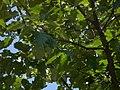Durand Oak by Dennis Murphy, August 30, 2010 01.jpg
