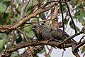 Dusky Woodswallow (Artamus cyanopterus) (13056683473).jpg