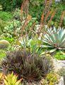 Dyckia platyphylla 1.jpg