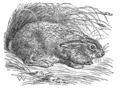 EB1911 - Hare Fig 1.png
