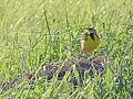Eastern Meadowlark (8949382287).jpg