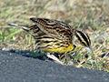 Eastern Meadowlark RWD2.jpg