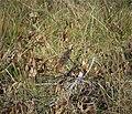 Eastern Meadowlark Sturnella magna - Flickr - gailhampshire.jpg