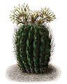 Echinocactus ebenacanthus BlKakteenT51.jpg