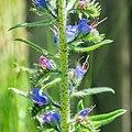 Echium vulgare in Aveyron (4).jpg