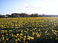 Edzell Woods and Daffodils - geograph.org.uk - 163596.jpg