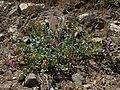 Egg milkvetch, Astragalus oophorus var. oophorus (35492535831).jpg