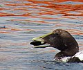 Ejder Common Eider (20351039625).jpg