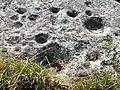 Ekornavallen (Raä-nr Hornborga 29-1) skålgropar på gånggrift 3590.jpg