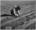 El Cerrito, San Miguel County, New Mexico. The staple crops in El Cerrito are corn, beans and alfal . . . - NARA - 521204.tif