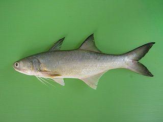 <i>Eleutheronema tetradactylum</i> species of fish