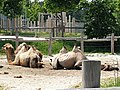 Em - Camelus bactrianus - 8.jpg