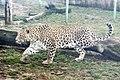Em - Panthera pardus - 4.jpg