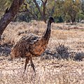 Emu Burke River floodplain Boulia Shire Queensland P1060865.jpg