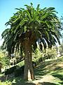 Encephalartos woodii true original stem side 12 09 2010.JPG