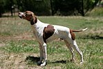 English pointer.jpg