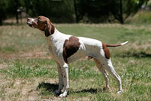Pointer (dog breed) - Pointer