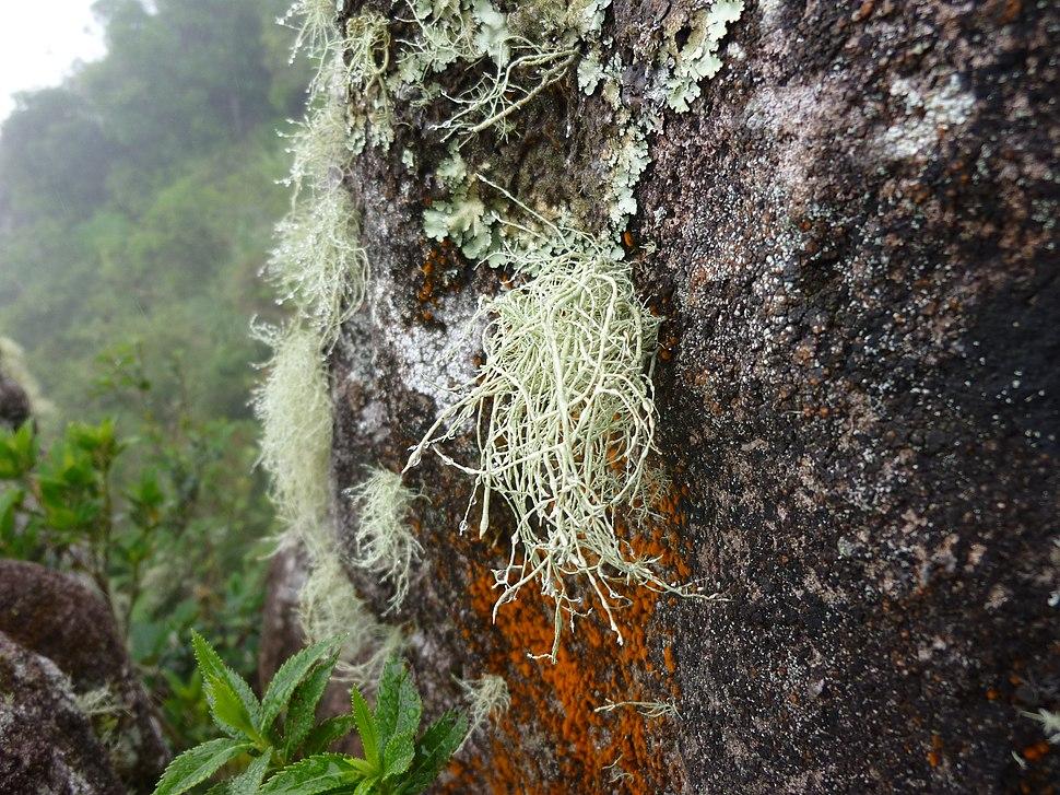 Epiphytic lichen