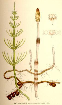 [Obrazek: 250px-Equisetum_arvense_nf.jpg]