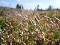 Eragrostis minor (6123802227).jpg