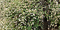 Eriogonum parvifolium 1 cropped.jpg