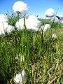 Eriophorum scheuchzeri upernavik kujalleq 2007-07-24 1.jpg