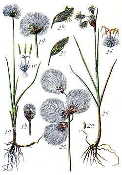 Eriophorum spp Sturm16.jpg